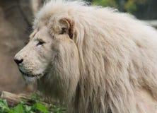 afrikansk lionwhite Arkivbild