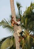Afrikansk man ner från palmträd med kokosnöten i händer. Arkivfoton