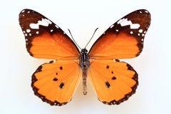 Afrikansk monark eller vanlig tiger arkivfoton