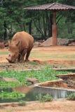 afrikansk noshörning Arkivfoton