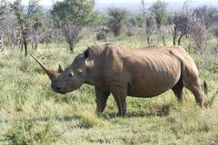 afrikansk noshörning Arkivfoto
