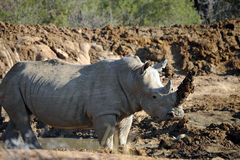Afrikansk noshörning Arkivbild