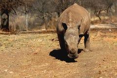 afrikansk noshörning royaltyfria bilder