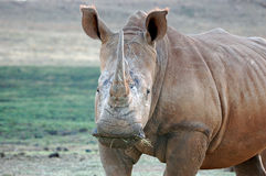 afrikansk noshörning Arkivbilder
