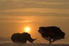 Afrikansk noshörning på solnedgången Arkivbild