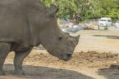 afrikansk noshörningwhite royaltyfri bild
