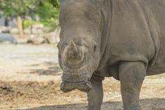 afrikansk noshörningwhite arkivbild
