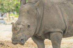 afrikansk noshörningwhite royaltyfria bilder