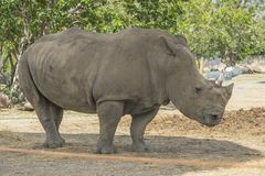 afrikansk noshörningwhite arkivfoto