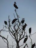 Afrikansk openbill i träd royaltyfria bilder