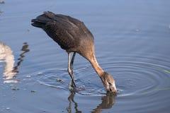 Afrikansk openbillstork, Anastomuslamelligerus som äter i den Chobe floden, Botswana royaltyfri fotografi