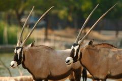 afrikansk oryxantilop Arkivbilder