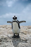 afrikansk pingvin Arkivfoto