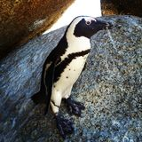 Afrikansk pingvin Royaltyfri Fotografi