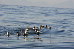 Afrikansk pingvin Arkivfoton
