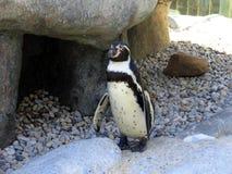 Afrikansk pingvin Royaltyfri Foto