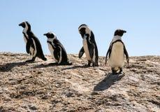 Afrikansk pingvin arkivbilder