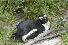 Afrikansk pingvin mellan gräs royaltyfria foton