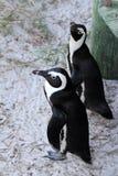 Afrikansk pingvin (Spheniscusdemersus) som från under kikar strandpromenaden, västra udde, Sydafrika Royaltyfri Foto