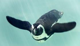 Afrikansk pingvin under vattnet Fotografering för Bildbyråer