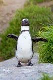 Afrikansk pingvinstående Fotografering för Bildbyråer