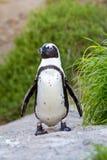 Afrikansk pingvinstående Royaltyfri Foto