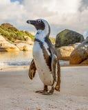 afrikansk pingvinstående Arkivfoton