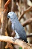 afrikansk psittacu för congo grå papegojastående royaltyfria bilder