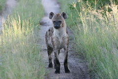 afrikansk södra hyenasafari arkivbild