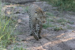 afrikansk södra leopardsafari royaltyfria foton