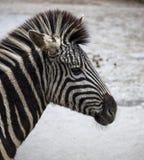 afrikansk safari för Kanada tät head lionontario foto som tas upp sebra Härlig hästsebra afrikansk sebra Royaltyfria Bilder