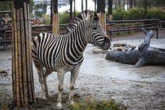 afrikansk safari för Kanada tät head lionontario foto som tas upp sebra Härlig hästsebra afrikansk sebra Arkivfoton