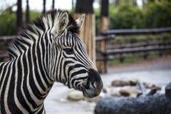afrikansk safari för Kanada tät head lionontario foto som tas upp sebra Härlig hästsebra afrikansk sebra Royaltyfri Bild