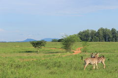 Afrikansk safari som kramar sebran, Mlilwane djurlivfristad i Swaziland, sydliga Afrika, naturloppförälskelse Arkivbilder