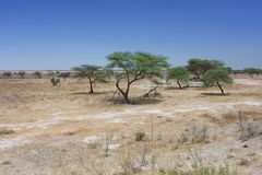 Afrikansk savannah med busken och träd royaltyfri foto