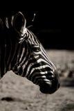 afrikansk sebra Arkivbilder