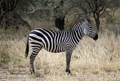 afrikansk sebra Arkivfoton