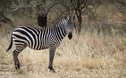 afrikansk sebra Arkivfoto