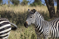 afrikansk sebra Arkivbild