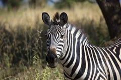 afrikansk sebra Fotografering för Bildbyråer