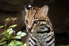 afrikansk serval Royaltyfri Bild