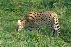 afrikansk servalvildkatt royaltyfri bild