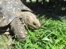 Afrikansk sköldpadda Arkivbilder