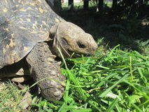 Afrikansk sköldpadda Arkivfoton