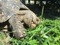 Afrikansk sköldpadda Royaltyfria Foton