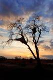 Afrikansk solnedgång med det främsta trädet Arkivbild