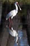 Afrikansk Spoonbill - Botswana Arkivbilder