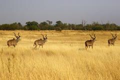 Afrikansk större Kudu flock av stora tjurar royaltyfria foton