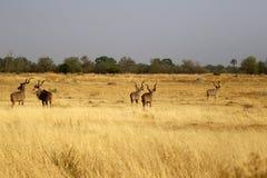 Afrikansk större Kudu flock av stora tjurar royaltyfria bilder