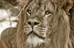 afrikansk stor lionmanlig royaltyfria foton